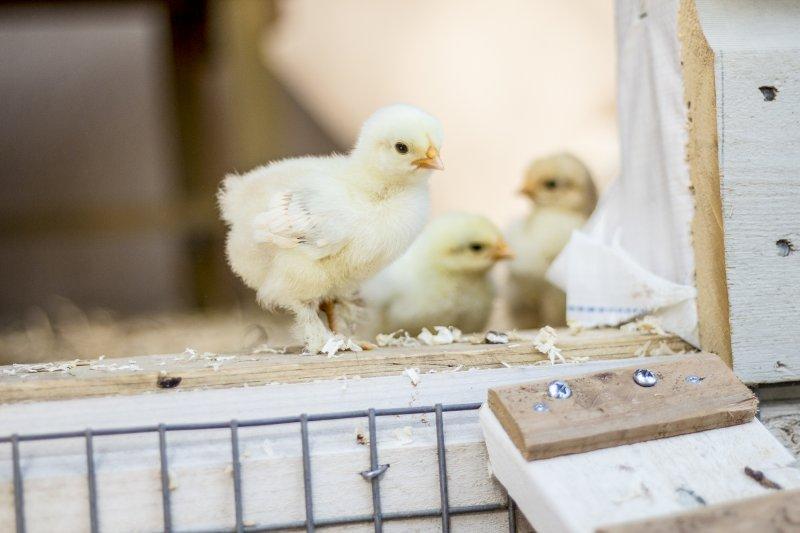 Blandade kycklingar dating