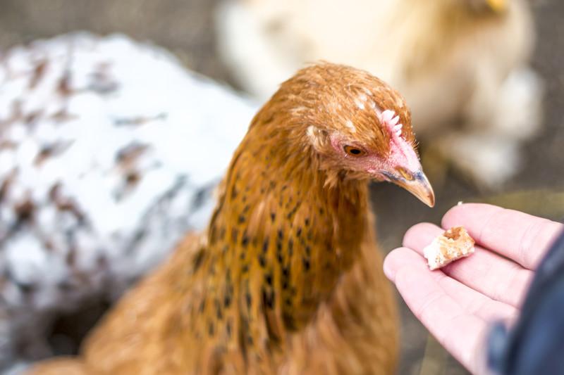 Dating för feta kycklingar