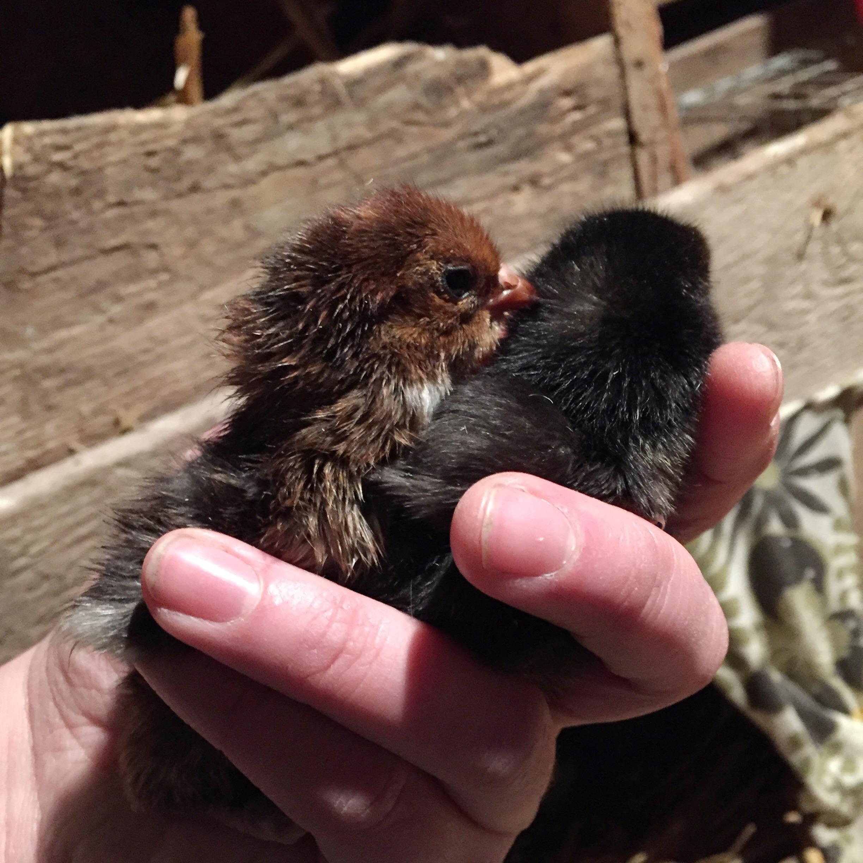 Bilder av heta svarta kycklingar