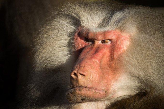 baboon 655313 640