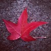 Maple Leaf Fall Palo Alto California By Miss P